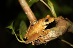 Rosenberg's Tree Frog