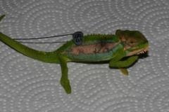 Cape Dwarf Chameleon