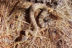 Northern Prairie Rattlesnake