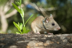 Mozambique Thicket Rat