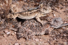 Regal Horned Lizards