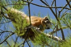 Big Cypress Fox Squirrel