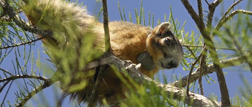 RI-2D transmitter attached to a Big Cypress fox squirrel (Sciurus niger avicennia).