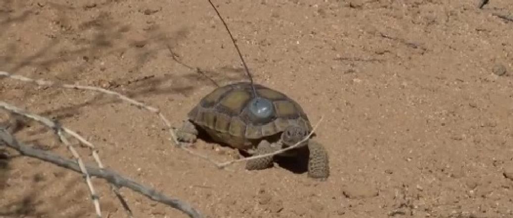 RI-2B glued to a desert tortoise (Gopherus agassizii)