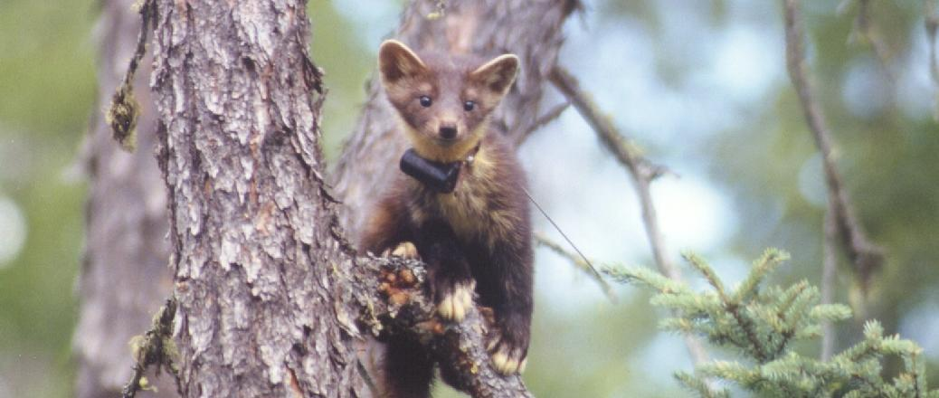 MI-2 transmitter attached to a pine marten (Martes americana)