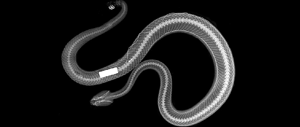 SI-2 transmitter implanted in a Mohave Rattlesnake (Crotalus scutulatus)