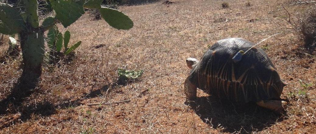 RI-2C transmitter glued to a Radiated tortoise (Astrochelys radiata)