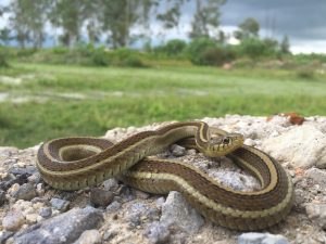 Rossman's Garter Snake