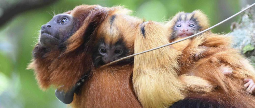 RI-2D transmitter attached to a golden lion tamarin ((Leontopithecus rosalia).
