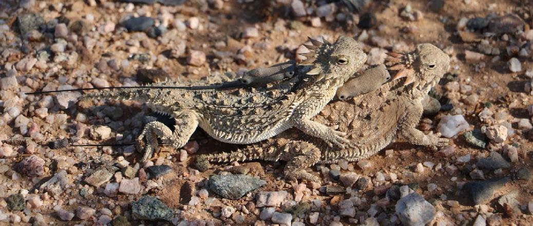 PD-2 attached to a regal horned lizard (Phrynosoma solare)